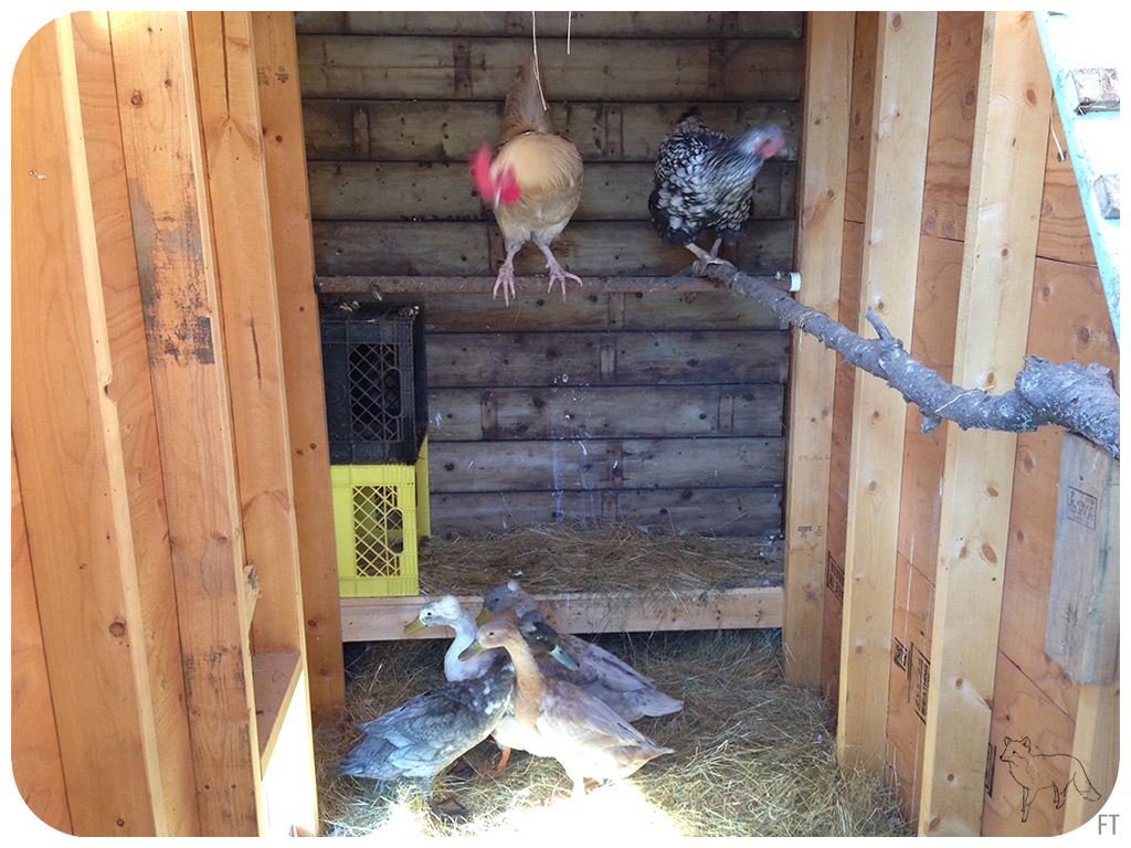 Making roommates of the chickens and ducks fox on an island for Can ducks and chickens share a coop